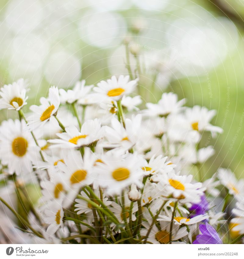 wieder da Pflanze Blume Duft Margerite Gänseblümchen Blumenstrauß Sommer Frühling Farbfoto Außenaufnahme Nahaufnahme Tag weiß Blühend Menschenleer