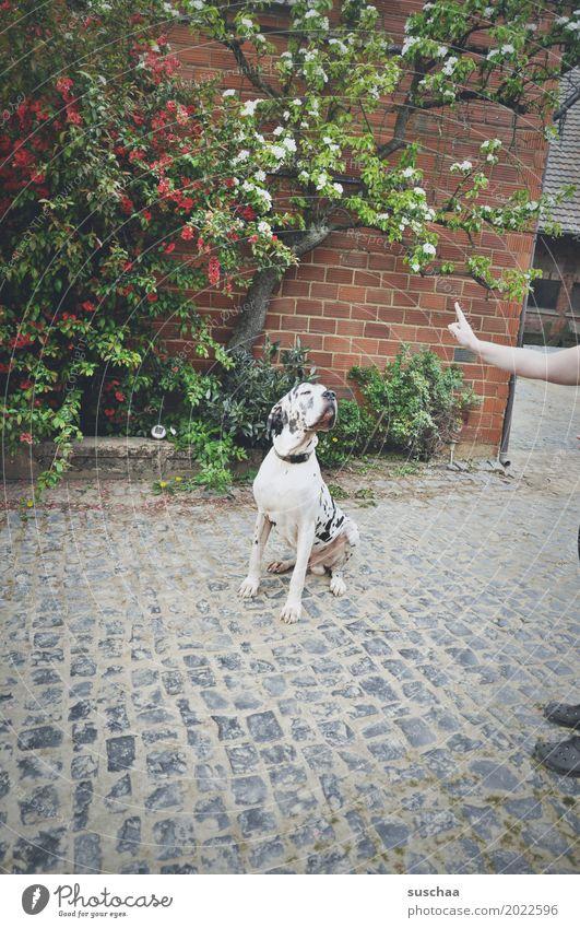 braves hündchen Haustier Hund Haushund Dogge mach sitz gehorsam abgerichtet Bauernhof Hof auf dem lande Tierliebe Hand Arme Finger Tiertraining