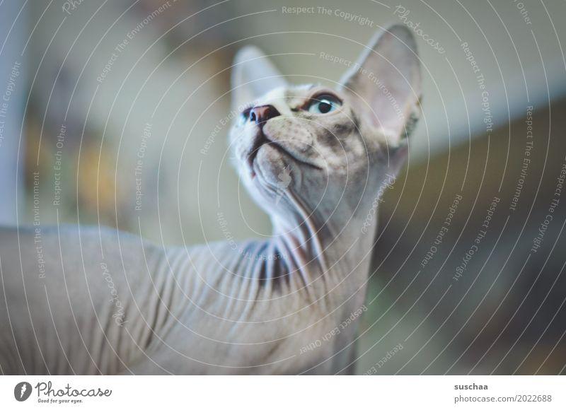 irgendwie katze Katze Hauskatze Tier Falten Haustier nacktkatze außergewöhnlich seltsam Weisheit Tierhaut kein fell haarlos Gesicht Auge Ohr Schnauze Tierzucht