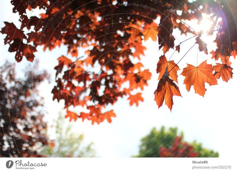 roter ahorn im gegenlicht Umwelt Natur Pflanze Himmel Frühling Schönes Wetter Baum Umweltschutz Ahorn Ahornzweig Farbfoto mehrfarbig Außenaufnahme Tag Licht