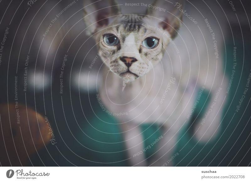 gucken Katze Tier Gesicht Auge außergewöhnlich Neugier Haustier Hauskatze seltsam Aussehen