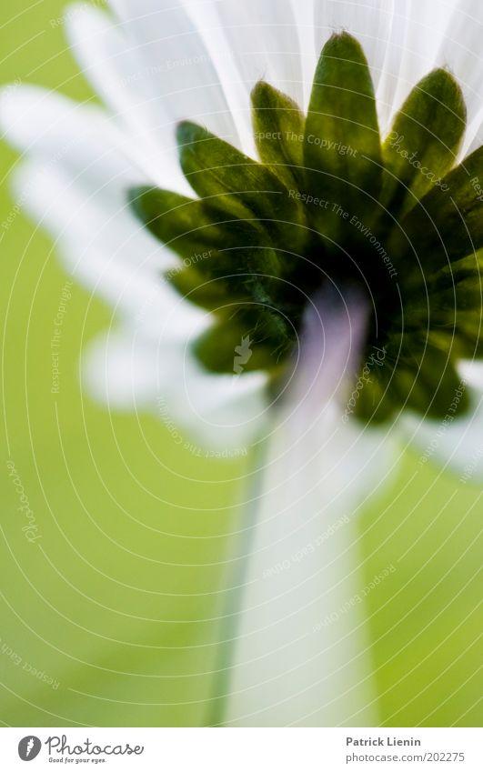 Gänseblümchen aus der Ameisensicht weiß Blume grün Pflanze Wiese oben Blüte Frühling klein groß Stengel Blühend unten beeindruckend