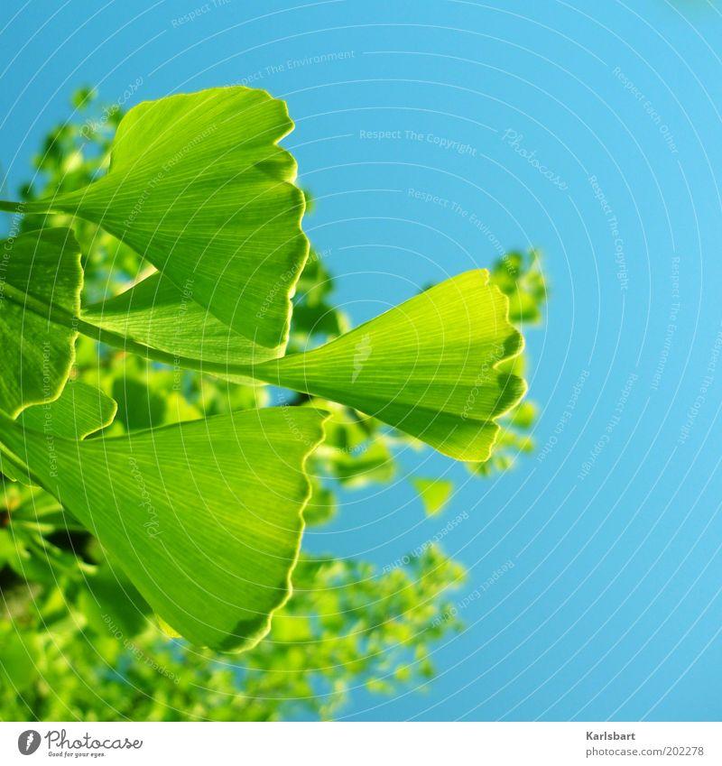 ginkon. schön Umwelt Natur Himmel Sonnenlicht Schönes Wetter Pflanze Baum Ginkgo Heilpflanzen blau grün Farbfoto mehrfarbig Außenaufnahme Detailaufnahme