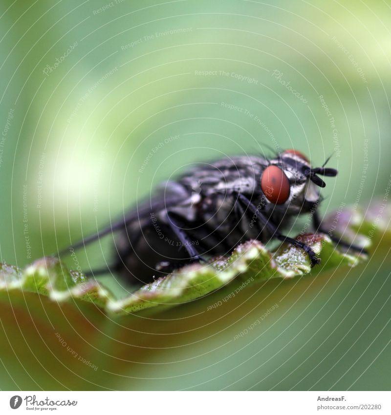 Fliege Umwelt Natur Tier 1 nah grün Farbfoto Nahaufnahme Detailaufnahme Makroaufnahme Textfreiraum oben Blick in die Kamera Blatt