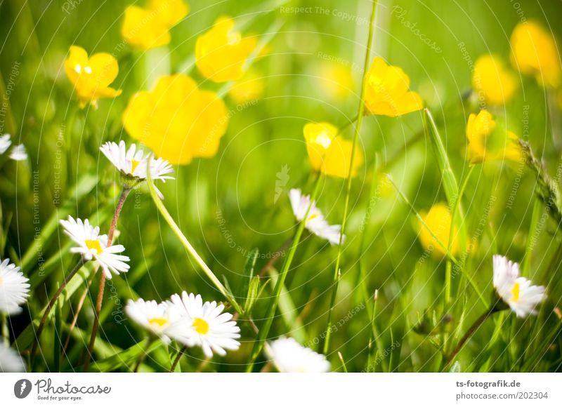 Flauer Pauer Blume grün Pflanze Sommer ruhig gelb Erholung Wiese Blüte Gras Frühling Garten Glück Park Zufriedenheit Umwelt
