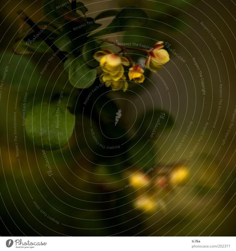 Schattenblüher Umwelt Natur Landschaft Frühling Pflanze Baum Sträucher Blatt Blüte Wildpflanze Garten Blühend Duft leuchten Wachstum dunkel schön klein