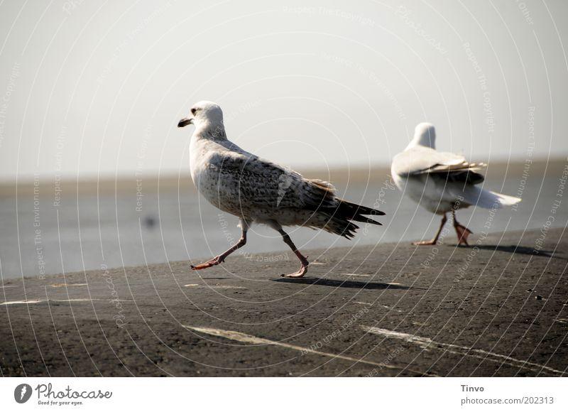 Baywatch Strand Tier Tanzen Vogel Küste lustig laufen Hügel Wildtier Schönes Wetter Möwe Nordsee stolzieren Möwendreck