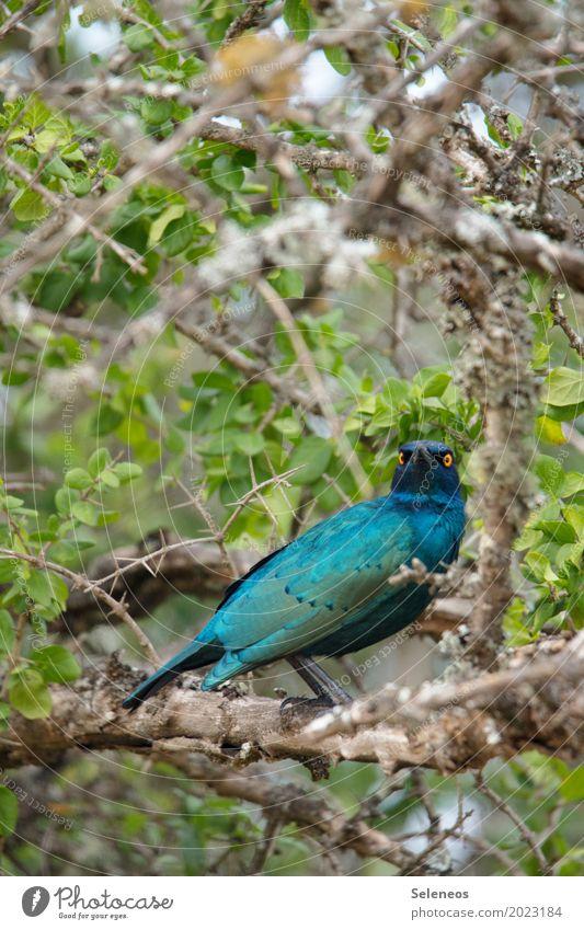 Clarice Expedition Umwelt Natur Pflanze Sträucher Garten Park Tier Wildtier Vogel Tiergesicht Flügel Star 1 beobachten Farbfoto Außenaufnahme Menschenleer