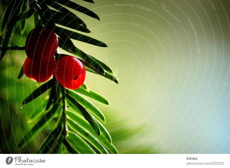 Verführerisch schön... Natur Baum grün rot Herbst Frucht ästhetisch Dekoration & Verzierung lecker Zweig Beeren Textfreiraum Nadelbaum Wildpflanze Eibe