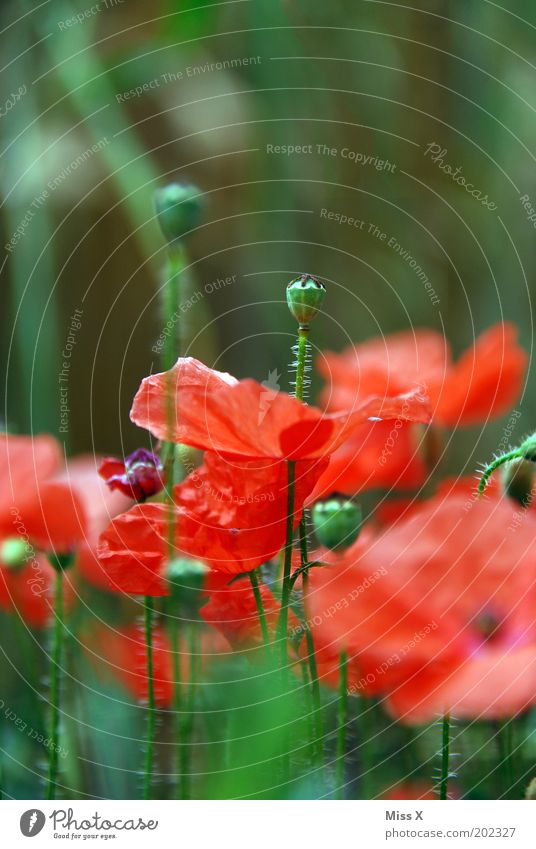 Poppy II Rauschmittel Natur Pflanze Sommer Blume Blüte Nutzpflanze Wiese Blühend Wachstum Mohn Mohnblüte Samen Kontrast Farbfoto mehrfarbig Außenaufnahme