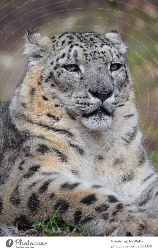 Schließen Sie herauf Porträt des männlichen Schneeleoparden Sommer Natur Tier Gras Wildtier Tiergesicht Zoo 1 liegen Blick sitzen grün selbstbewußt Kraft Macht