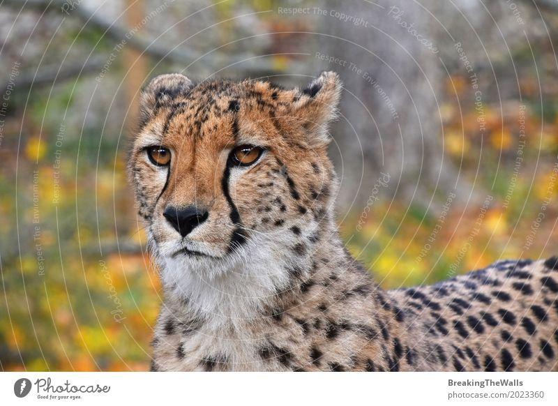 Nahes hohes Vorderansichtporträt des Gepards Kamera betrachtend Tier Herbst Blatt Wildtier Katze Tiergesicht Zoo 1 laufen Blick stehen wild gelb grün Farbe