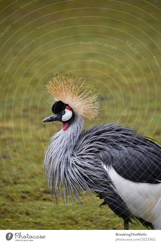 Seitenprofilporträt des afrikanischen schwarzen gekrönten Kranes Natur Tier Gras Wildtier Vogel Zoo 1 Blick stehen exotisch wild grün Balearen Pavonina Tierwelt