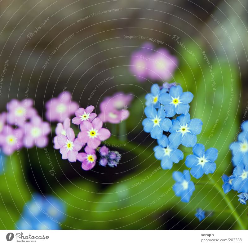 ...im Garten Vergißmeinnicht linum usitatissimum Blütenknospen Pflanze pflanzlich Botanik Blume niedlich klein rosa blau Detailaufnahme Hintergrundbild Lein