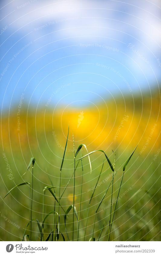 Frühlingsfarben Umwelt Natur Landschaft Pflanze Himmel Wolken Sonnenlicht Klima Schönes Wetter Gras Grünpflanze Wildpflanze Wiese Feld ästhetisch hell blau gelb