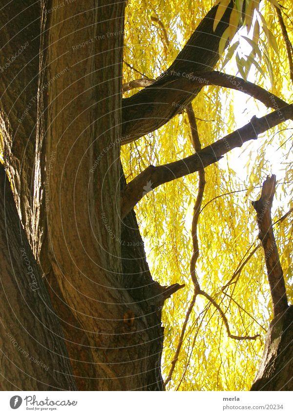 Trauerweide herbstlich Baumrinde Blatt gelb Herbst Weide Baumstamm