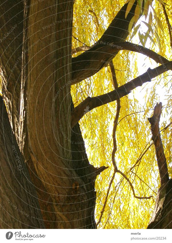 Trauerweide herbstlich Blatt gelb Herbst Weide Baumstamm Baumrinde