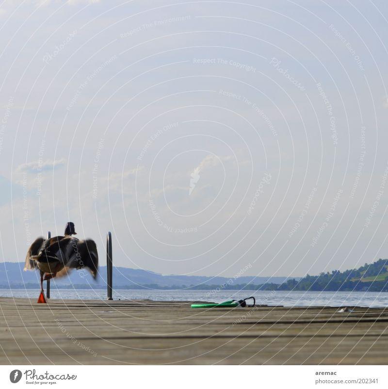 Bademeister Ferien & Urlaub & Reisen Sommerurlaub Wasser Himmel Wärme Seeufer Tier 1 fliegen laufen springen Freude Ente Anlegestelle Abheben Farbfoto