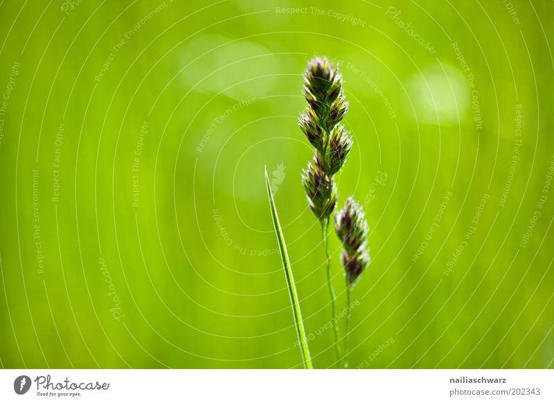 Grün Umwelt Natur Pflanze Frühling Sommer Klima Wetter Schönes Wetter Gras Grünpflanze Wildpflanze Wiese Feld ästhetisch frisch grün Leben Umweltschutz Farbfoto