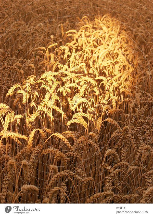 Korn im Licht Sonne Sommer Getreide Halm Raureif Lichtstrahl