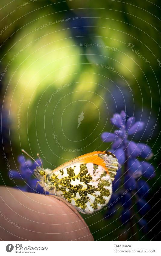 Rettung Hand Natur Pflanze Tier Sonnenlicht Schönes Wetter Blume Blüte Becherhyazinthe Garten Schmetterling Aurorafalter 1 beobachten Blühend Duft sitzen