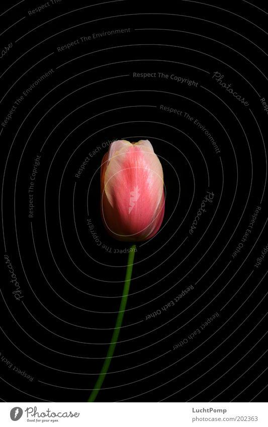 Zart edel schwarz Tulpe Tulpenblüte Stengel Blütenblatt rosa grün dünn zart Sommer Frühling Hintergrund neutral Licht Vergänglichkeit frisch Blume dunkel