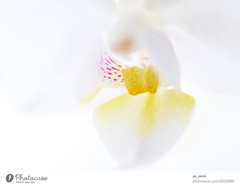 Weiße Orchidee Lifestyle Stil Design schön Körperpflege Wellness Leben harmonisch Sinnesorgane Hochzeit Natur Frühling Sommer Pflanze Blume Orchideenblüte