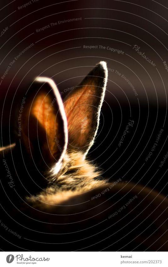 Heiße Ohren schwarz Tier dunkel hell braun glänzend groß sitzen weich Fell Warmherzigkeit hören leuchten Hase & Kaninchen Haustier