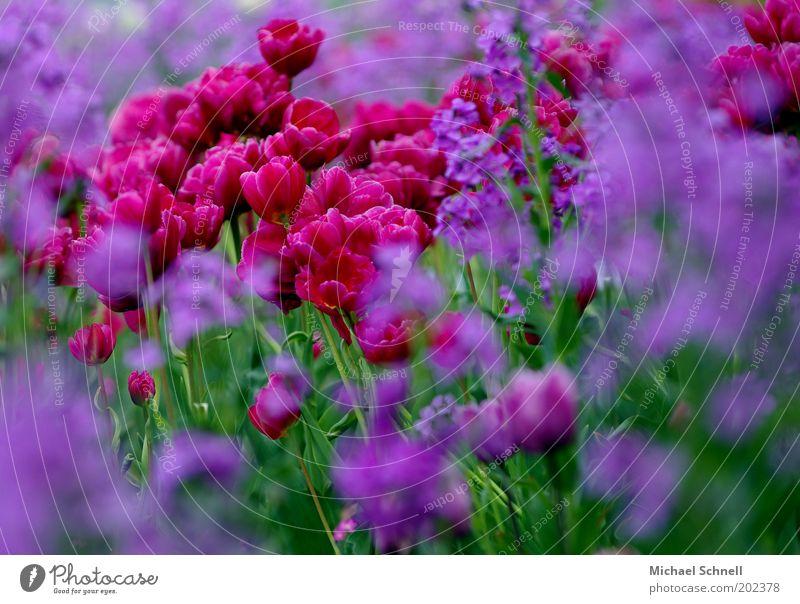 Tulpen Pflanze Blüte Tulpenblüte violett Blumenteppich Blumenbeet Blütenblatt viele Unschärfe Farbfoto mehrfarbig Außenaufnahme Menschenleer Tag rot