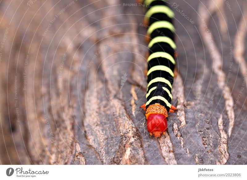 Raupe-Nimmersatt Umwelt Natur Pflanze Tier Klimawandel Nutztier 1 ästhetisch außergewöhnlich schön einzigartig Kuba Farbfoto Außenaufnahme Nahaufnahme