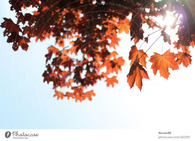 roter ahorn im gegenlicht II Himmel Natur Baum ruhig Umwelt Herbst Park Herbstlaub Wolkenloser Himmel herbstlich Ahornblatt Ahorn Herbstfärbung Herbstbeginn Herbstwald Ahornzweig