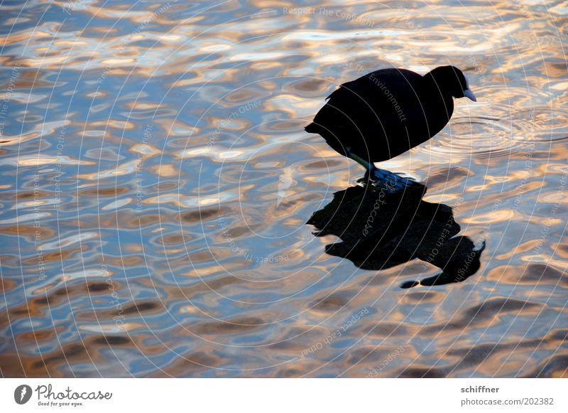 Rallenschatten Wasser schwarz Tier See Vogel klein gehen rund Romantik Gelassenheit Neugier dick Teich Spiegelbild Nahrungssuche Wasseroberfläche