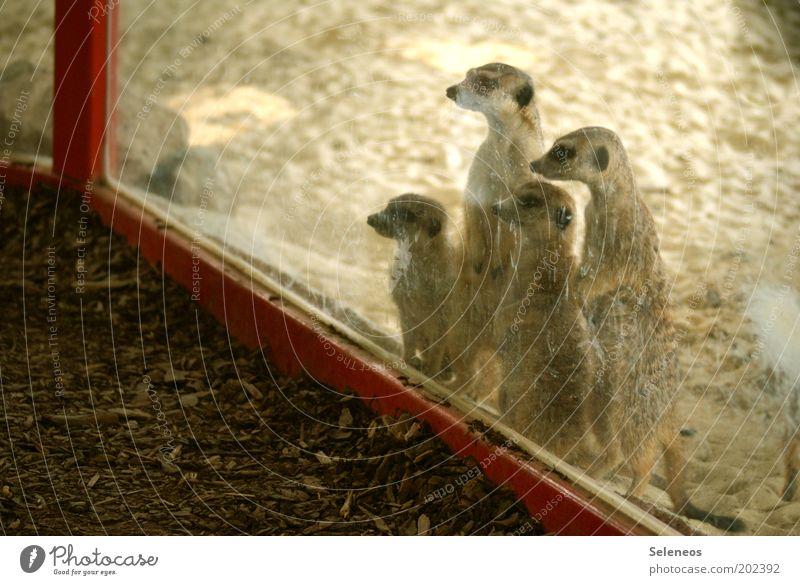 Durchblick Natur Ferien & Urlaub & Reisen Tier Freiheit Sand Glas dreckig Ausflug Tourismus Wildtier Tiergruppe Tiergesicht Neugier beobachten Zoo entdecken