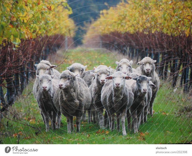 mähhhh Nutztier Tiergruppe Herde Kraft Team Wege & Pfade Tierporträt Schaf Wolle Viehzucht Zusammenhalt Zusammensein