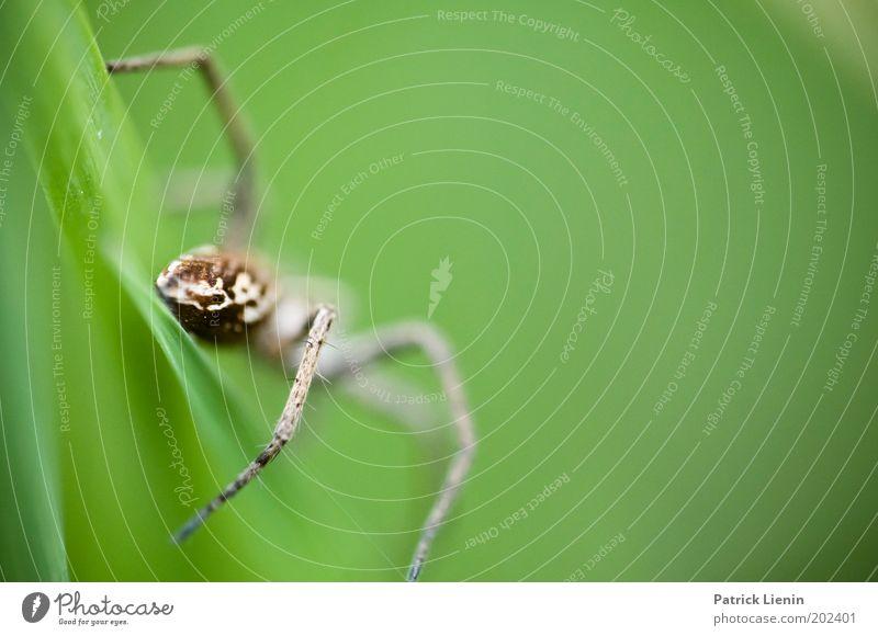 iiihhhh Wildtier Spinne 1 Tier Ekel grün Flucht groß Blatt Spinnenbeine Angst furchtbar schön wild Farbfoto Detailaufnahme Makroaufnahme Menschenleer