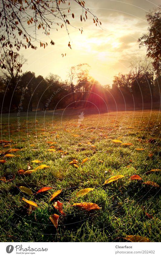 Herr Herbst am Morgen Natur Landschaft Himmel Sonnenaufgang Sonnenuntergang Gras Park Wiese Menschenleer saftig gelb gold Gefühle Glück Zufriedenheit