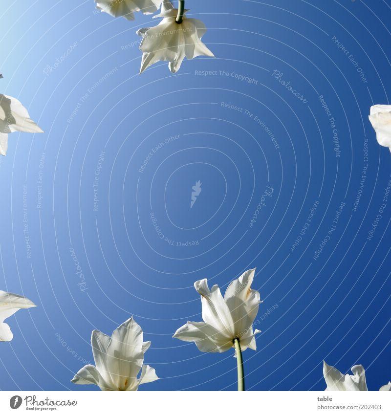 Sommerhimmel Stil schön Natur Pflanze Wolkenloser Himmel Frühling Schönes Wetter Blume Tulpe Blüte Garten Park Wachstum ästhetisch blau grün weiß Liliengewächse