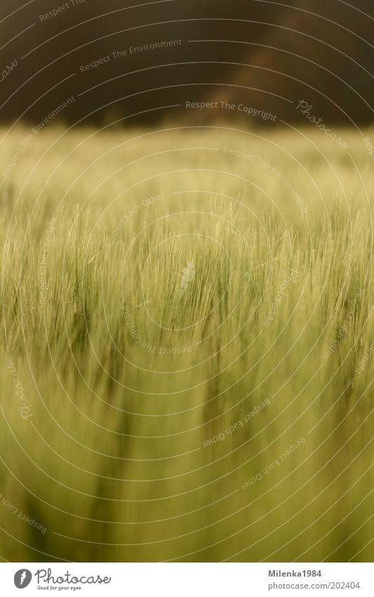 Maigerste Sommer Natur Landschaft Pflanze Schönes Wetter Nutzpflanze Feld Gesundheit hell weich gelb gold grün Gerste Getreide Farbfoto Außenaufnahme