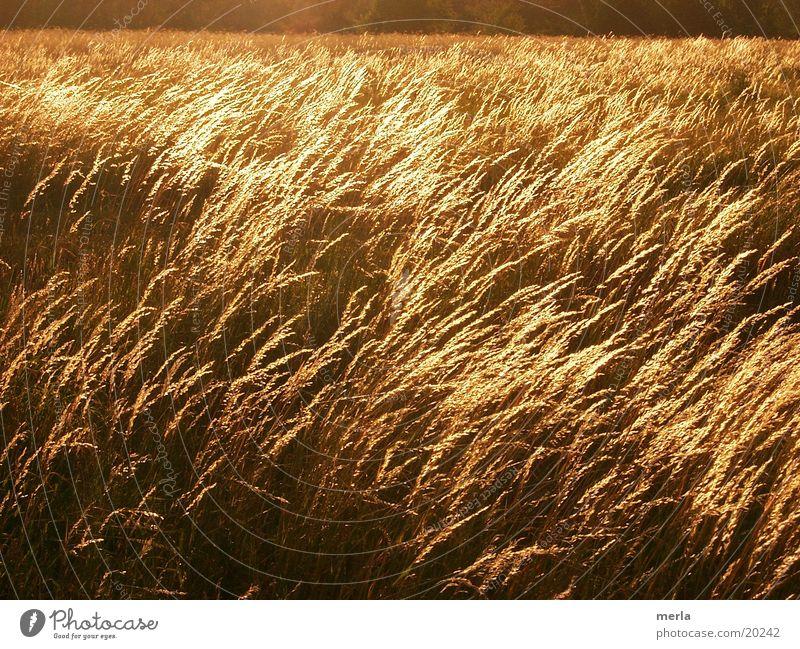 Gräsermeer Wiese Wellen Wind Halm Grasland Abendsonne