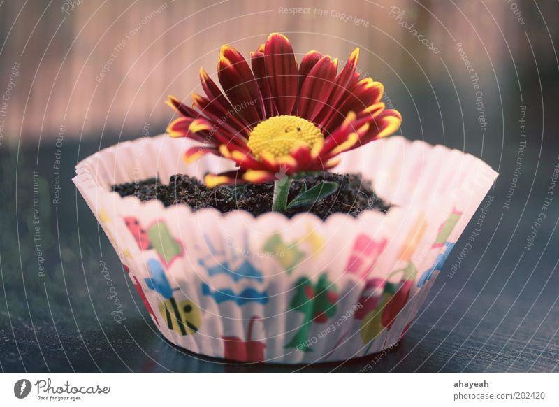 cupcake for you Muffin Blume Blüte Erde mehrfarbig Farbe Gefühle Natur Geschenk Geburtstag Gerbera Überraschung Kuchen rot gelb Blumentopf Menschenleer