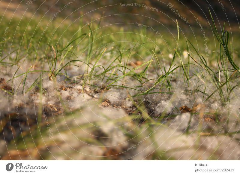 Grasgeflüster Umwelt Natur Landschaft Pflanze Erde Frühling Sommer Schönes Wetter Wind Baum Grünpflanze Wildpflanze Wiese verblüht Wachstum nah grün weiß