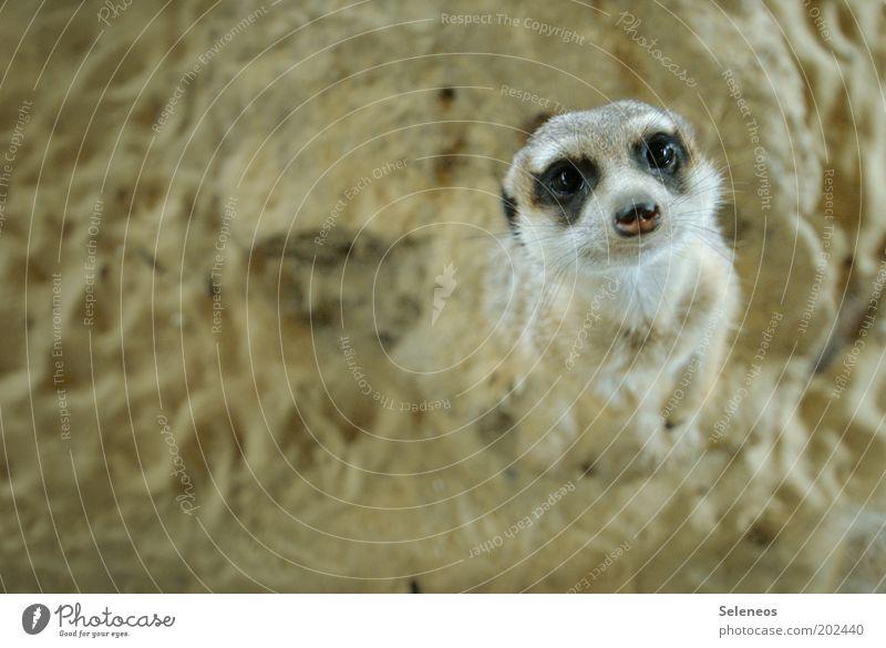 mit großen Erdmännchenaugen! Zoo Natur Tier Erde Sand Wildtier Tiergesicht Fell Nagetiere beobachten Blick stehen Freundlichkeit Neugier niedlich weich