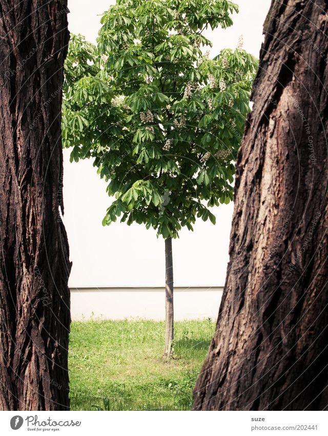 Zwischenraum Umwelt Natur Baum Wiese stehen Wachstum groß klein stark braun grün Baumstamm Kastanienbaum Baumrinde Spalte eng Pflanze Baumkrone nachhaltig
