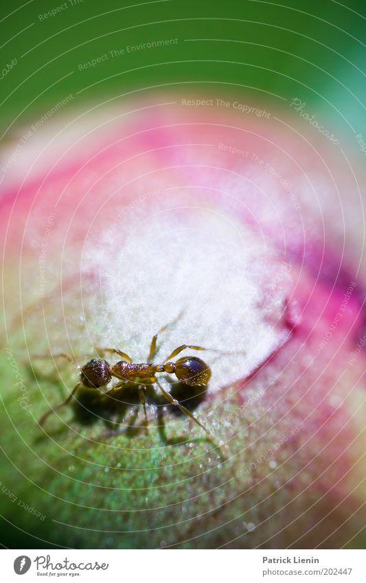 Around The World... Tier Ameise laufen Suche Blütenknospen Rose grün Natur Garten Insekt klein rund Pflanze Biologie anschaulich interessant Farbfoto