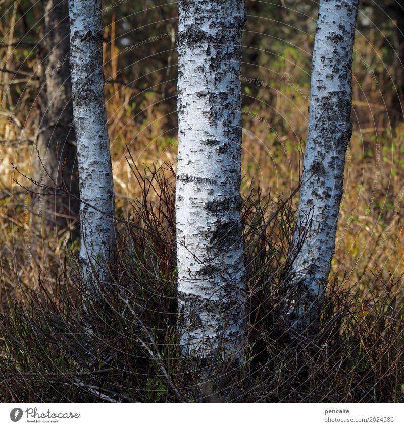ringelrein | birkenreigen Natur Baum Landschaft Wald Tanzen Schönes Wetter Tanzveranstaltung Urelemente Birke Birkenrinde