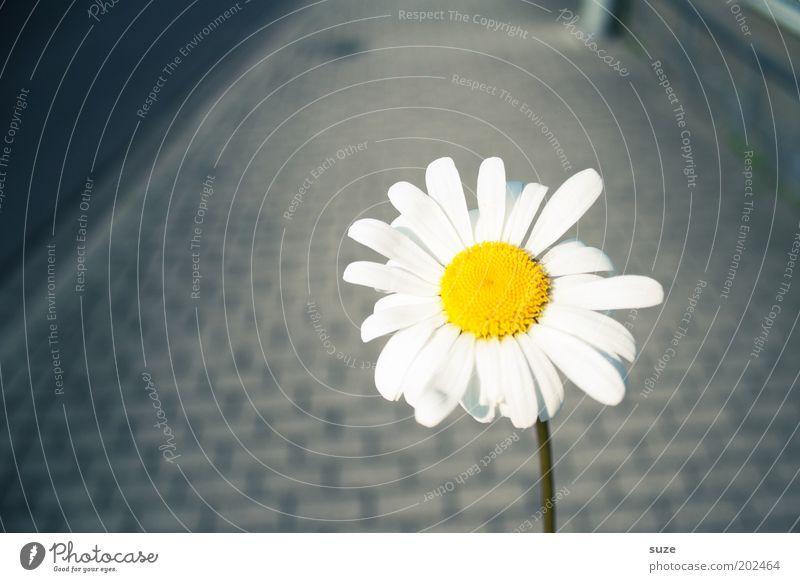 Spaziergang mit Margerite Blume Freude Einsamkeit Blüte Glück grau Wege & Pfade Spaziergang einfach Blühend leuchten Freundlichkeit Bürgersteig Fußweg Gänseblümchen Pflastersteine