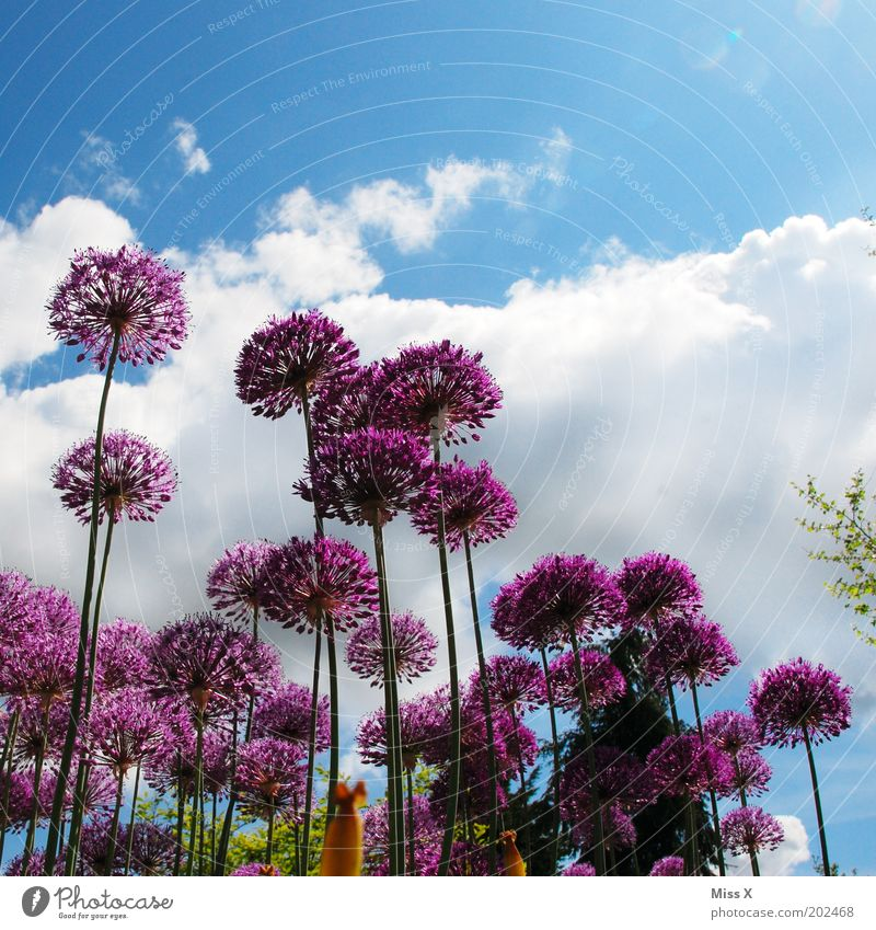 Zierlauch Natur Himmel Blume Pflanze Sommer Wolken Wiese Blüte Frühling Garten Umwelt groß Wachstum violett Blühend Schönes Wetter