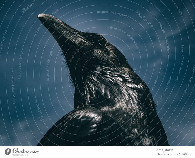 Rabe nach Winterfell II Natur Tier Himmel Wolken Wildtier Vogel Rabenvögel 1 Blick Coolness blau schwarz Hochmut Stolz majestätisch Schnabel Feder dunkel