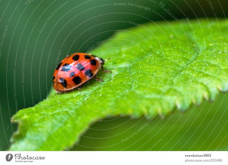 und Tschüss! Natur grün Pflanze rot Sommer Blatt schwarz Tier Umwelt Punkt Marienkäfer krabbeln Glücksbringer
