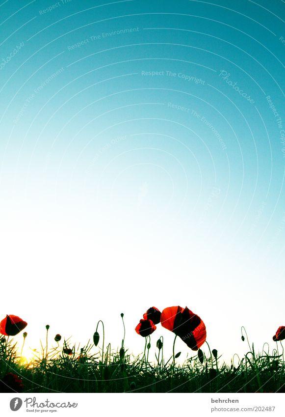 überzeugende farbgebung Umwelt Natur Pflanze Wolkenloser Himmel Frühling Sommer Klimawandel Schönes Wetter Blume Blüte Grünpflanze Nutzpflanze Feld Wachstum
